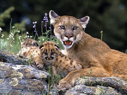 Пума з дітьми